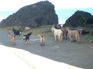 漫步中的羊群