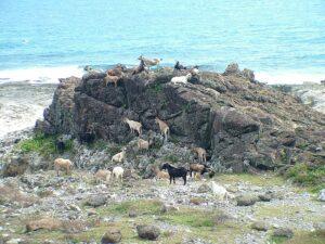 礁岩上的羊群